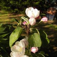 Яблони в цвету, весны творенье :: Регина Пупач