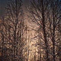 нежный зимний закат, проявляется сквозь снежные деревья. :: Валерия Воронова
