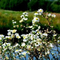 летние ромашки у озера :: Александр Прокудин