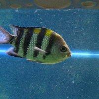 Рыба-луч. :: Владимир Гилясев