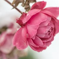 Зимние розы :: Ирина Лядова
