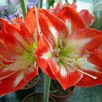 Комнатные цветы :: Вера Щукина