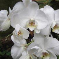 Орхидеи :: Герович Лилия