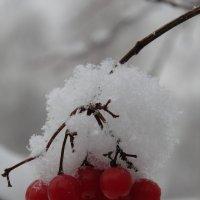 Калина под снегом, как капельки крови... :: Людмила Ларина