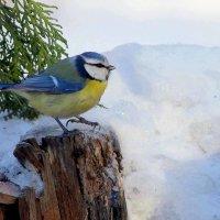 Лазоревка -голубая синица :: Ната Волга