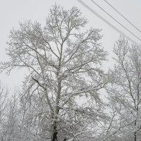 Серия деревья. Зима. :: Вячеслав Медведев