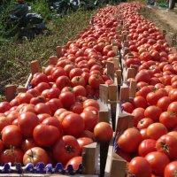 помидоры :: İsmail Arda arda