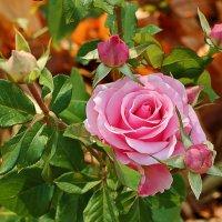 Розовое семейство :: Светлана