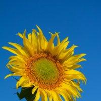Солнечный цветок :: Евгений Чибисов