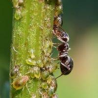 муравей :: Laryan1