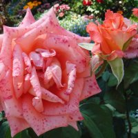 Розы :: Флора