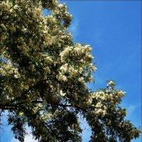 Царица белая акация на фоне весеннего неба :: Нина Корешкова