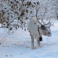 Северный олень из Эвенкии :: Екатерина Торганская