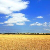 Поле с пшеницей.. :: Павел Ершов