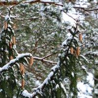 Шишки в лесу. :: Sergey (Apg)