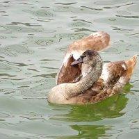 """Среди белых лебедей был и """"гадкий утёнок"""" :: Маргарита Батырева"""