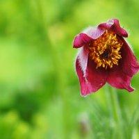 Застенчивый цветок... :: марк