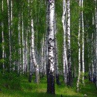 В берёзовой роще. :: оля san-alondra