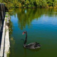 Подкармливаем чёрного лебедя... :: Юрий Поляков
