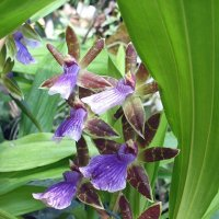 Орхидея Зигопеталум :: Елена Павлова (Смолова)