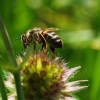 Пчела в работе :: Максим Ершов