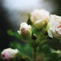 Роза :: Татьяна Тимофеева