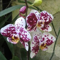 Орхидея :: Елена Павлова (Смолова)