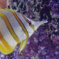 Рыбка жёлтополосик :: Владимир Гилясев