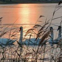 Лилия И вид лебедей,как отрада для глаз... :: Liliya Kharlamova