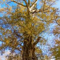 Старое дерево :: Елена Васильева