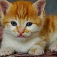 Я рыжий маленький котёнок.... :: владимир