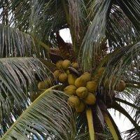бананы - кокосы ... :: Алексей Корзников