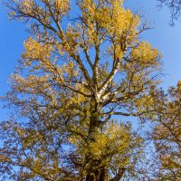 Старое дерево еще раз :: Елена Васильева
