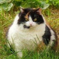 толстая соседская Мурка :: Александр Прокудин