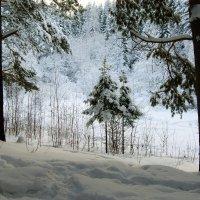Снег в лесу. :: Наталья