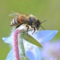 Без цветочков нету пчел... :: Nina Streapan