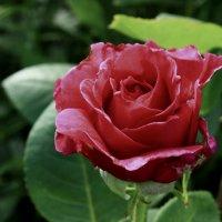 роза :: оксана