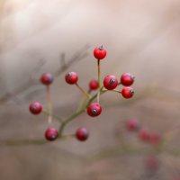 Красна ягода :: Андрей Степанов