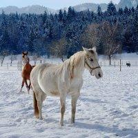 Белый конь, Красный конь.., как две песни:) :: Elena Wymann