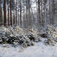 Новогодние елочки :: Милешкин Владимир Алексеевич