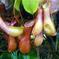 Непентес - хищное растение :: Вера Щукина