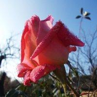 Роза :: Наталья Гринченко