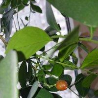 А вот и ягодка зреет на мурайе. :: Galina194701