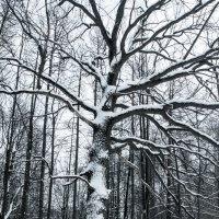 Дерево (чужой среди своих) :: morgo