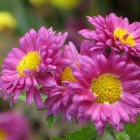 Тёплый декабрь 2015 года. Хризантемы цвели почти до Нового года :: Татьяна Смоляниченко