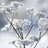 Снежные цветы. :: оля san-alondra