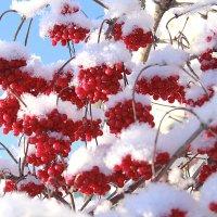В снежном уборе. :: alfina