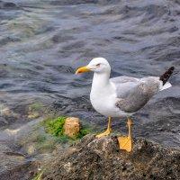 Севастопольская чайка :: Нелли