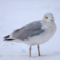 Серебристая чайка :: Константин Ординарцев