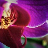 Орхидея :: Сергей Томашев